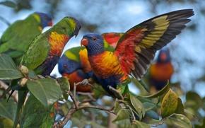 Картинка Rainbow, birds, Australian, parrots, Lorikeets