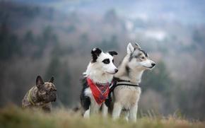 Картинка французский бульдог, троица, собаки, трио, хаски, бордер-колли