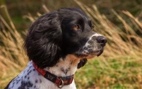Картинка трава, портрет, собака