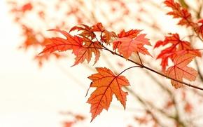 Картинка Макро, Природа, Осень, Листья, Ветки, Клён