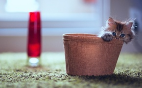 Обои взгляд, игра, котенок, маленький, коробка