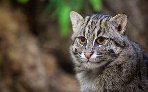 Картинка кот, портрет, хищник, мордочка, дикая кошка, кошка-рыболов
