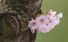 Картинка дерево, вишня, цветки, макро, сакура