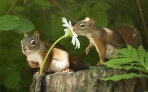Картинка животные, цветок, лето, листья, природа, пень, ромашка, пара, белки, грызуны