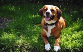 Картинка лето, трава, пёс
