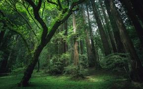 Обои лес, трава, деревья, мох, секвойи