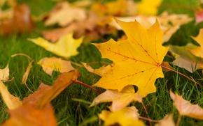 Картинка осень, листья, макро, фон, widescreen, обои, желтые листья, листик, wallpaper, листочки, листочек, широкоформатные, листики, background, ...