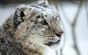 Картинка взгляд, морда, снег, хищник, ирбис, снежный барс