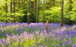 Картинка лес, трава, деревья, цветы, опушка