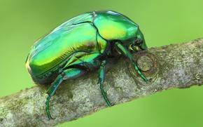 Картинка дерево, жук, ветка, насекомое, обои от lolita777, бронзовка золотистая