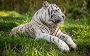 Картинка кошка, трава, профиль, белый тигр