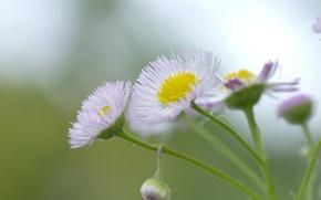 Картинка зелень, цветок, макро, свет, желтый, природа, зеленый, green, растение, цвет, утро, лепестки, ромашка, белые