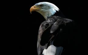 Картинка фон, птица, белоголовый орлан