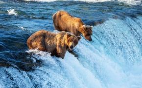 Картинка течение, водопад, медведи, охота, речка, рыбу, ловля, бурые, ловят