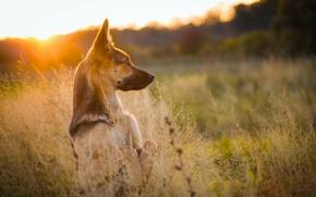 Картинка трава, закат, природа, собака, луг, стойка, овчарка
