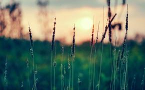 Картинка трава, солнце, закат, фокус, колоски