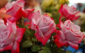 Обои розы, бутоны, лепестки