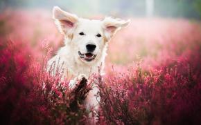 Картинка поле, цветы, природа, животное, собака, лаванда, пёс