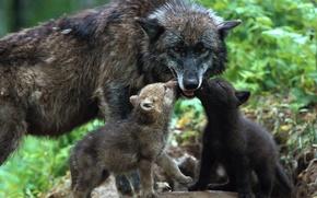 Картинка любовь, нежность, волки, малыши, волчата, забота