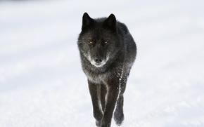 Картинка зима, снег, волк, хищник
