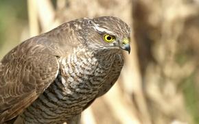 Картинка взгляд, или малый ястреб (Accipiter nisus), высматривание жертвы, готовность к атаке, Ястреб-перепелятник