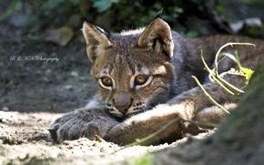 Картинка отдых, хищник, котёнок, рысь