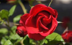 Картинка макро, роза, бутон