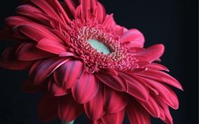 Картинка цветок, макро, красный, гербера