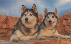 Картинка собаки, портрет, парочка, хаски