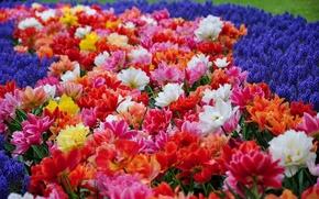 Картинка парк, тюльпаны, гиацинты