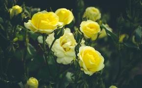 Картинка зелень, лето, розы, желтые, сад