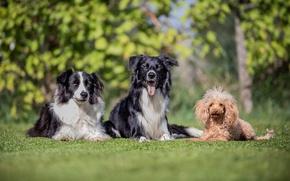 Картинка пудель, друзья, трио, бордер-колли, собаки, троица, боке