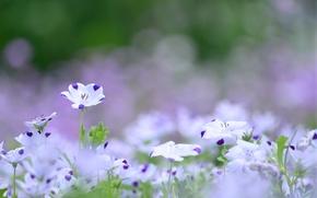 Картинка цветы, макро, природа, фиолетовые, сиреневый, белые, поляна, размытость, цвет лен, лето