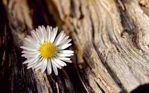Картинка белый, цветок, макро, цветы, фон, дерево, widescreen, обои, ромашка, wallpaper, кора, flower, широкоформатные, background, полноэкранные, …
