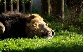 Обои кошка, трава, животное, грива, Лев, лежит, зверь, отдыхает, Lion