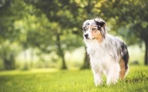 Картинка трава, поляна, собака, весна, луг, обои от lolita777, аусси