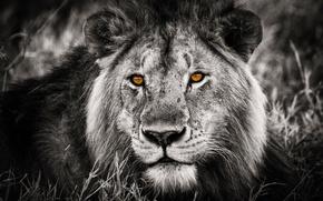 Картинка взгляд, лев, грива