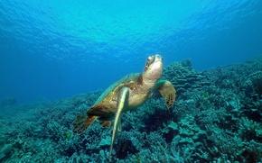 Картинка Черепаха, море, океан, кораллы