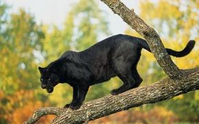 Картинка дерево, пантера, черный ягуар