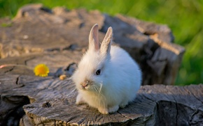 Обои кролик, белый, сидит, цветок, природа