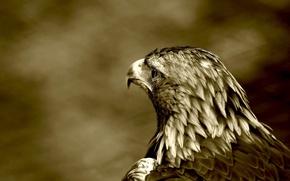Обои хищник, птица, ястреб