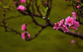 Обои peach blossoms, природа, весна