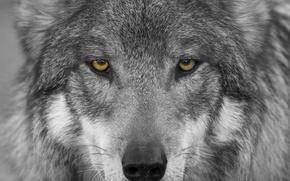 Обои взгляд, волк, хищник, морда, глаза