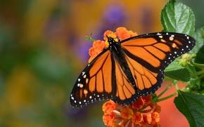 Картинка цветок, макро, бабочка, монарх, Данаида монарх