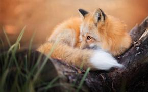 Картинка осень, пушистый, лиса, хвост, лис