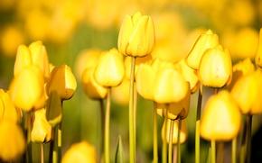 Обои цветы, природа, сад, огород flowers, free pictures, tulips, тюльпаны, photos