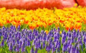 Обои цветы, блики, тюльпаны, мускари