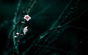 Картинка цветы, ветки, вишня, дождь, весна, розовые, цветение