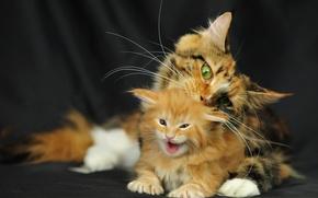 Обои кошка, мейн-кун, котенок, Кошки