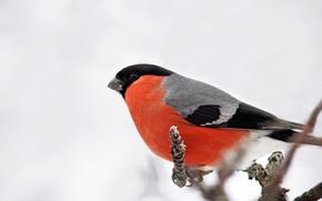 Картинка Снегирь, птица, природа
